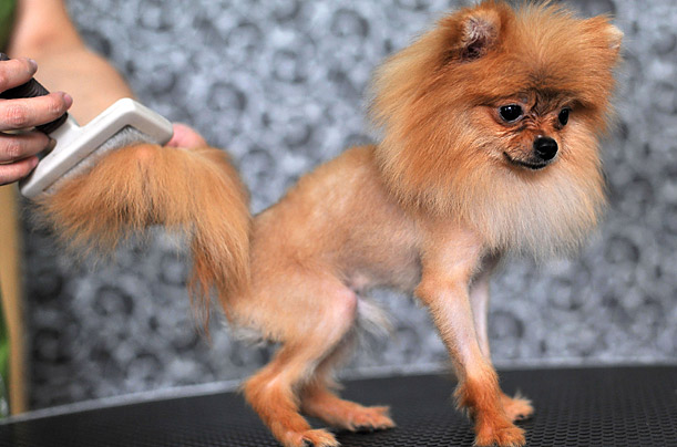 what not to do to with your pomeranian
