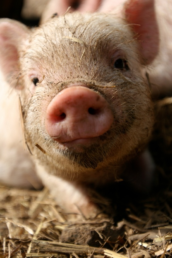 precious teacup pig