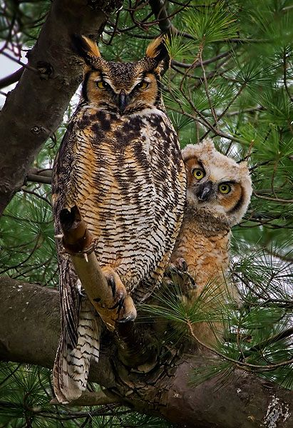 The Great Horned Owl: The greatest owl around!