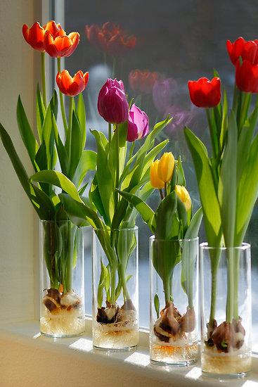 plant tulips