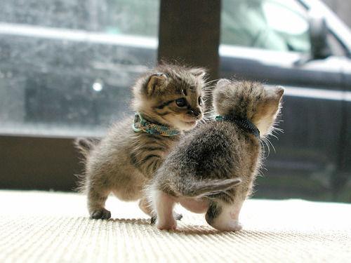 Baby kittens play!