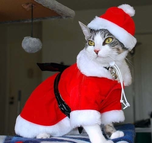 Merry Christmas cat style...