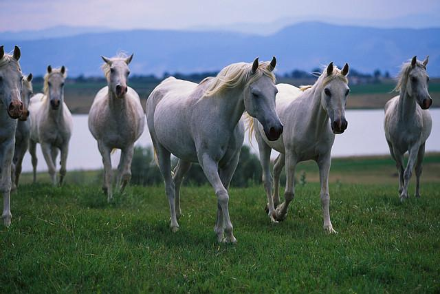 Arabian Horses We Know How To Do It