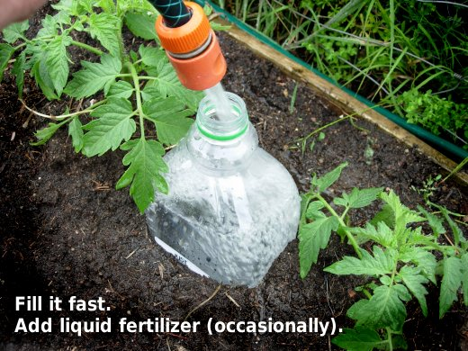 Slow release watering – plastic bottles, with just a few holes buried next to yo