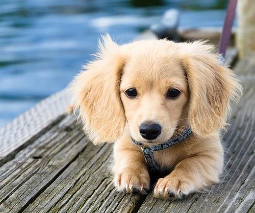 half golden retriever half wiener dog, too cute!