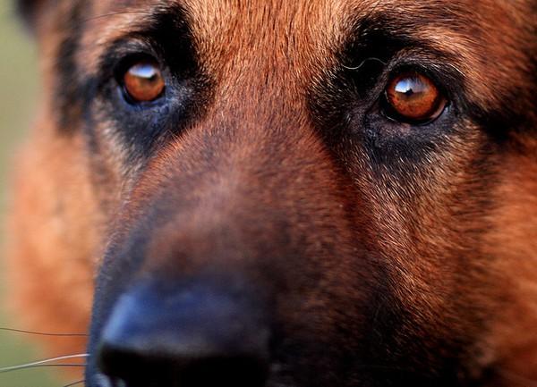 German Shepherd = Beauty