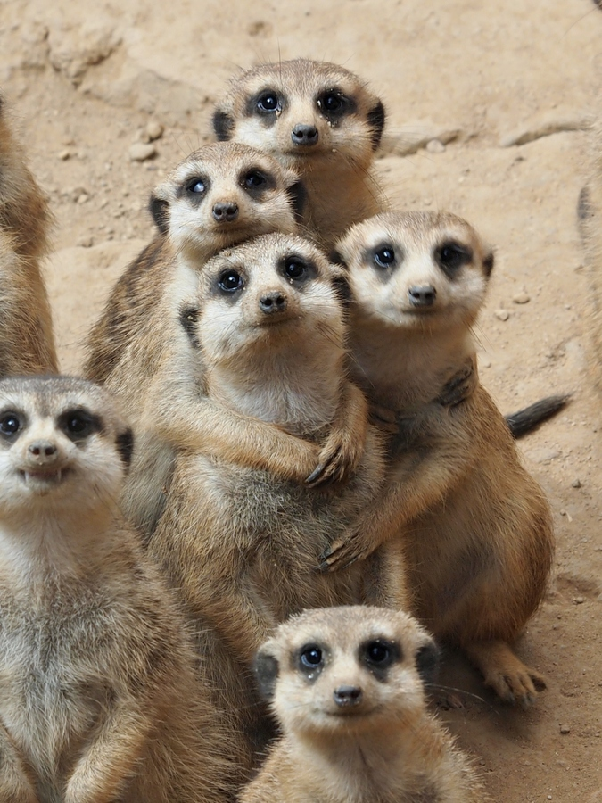 Meerkat family photo. Say cheeeeessss!!! I just love these little guys! Notice t