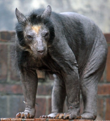 Never shave a bear! OMG