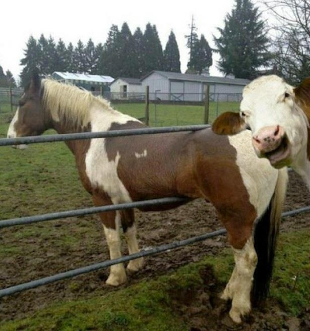 Dont know what funnier, Cow photobombing a horse or the fact that the horse is s