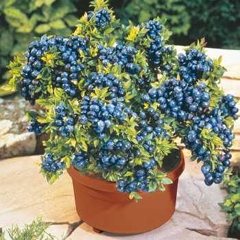 blueberries thrive in container gardens