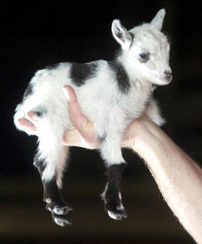 I want tiny goats.