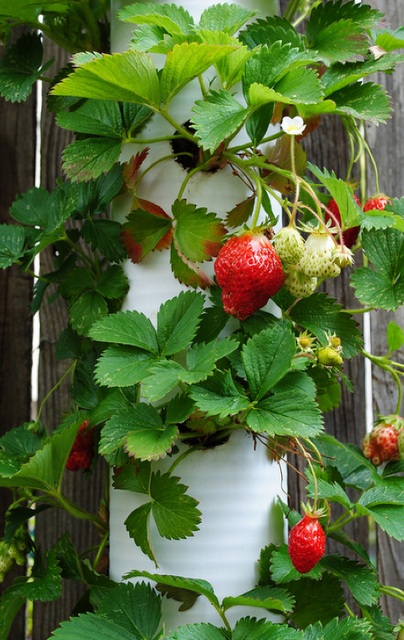 PVC Pipes perfect for growing strawberries — Keep the berries off the ground.