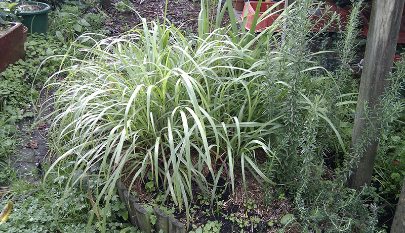 Basic Lemongrass Growing Tips -   How use lemon grass for the patio and your backyard