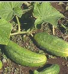Simple way to get more cucumbers